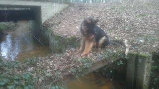Old German Shepherd : Mex Von Falco - Running Free