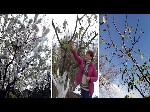 Как обрезать старые деревья чтобы снизить их в высоту и по диаметру