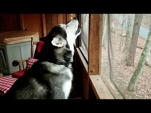 Tonka The Malamute Calling For Snow ♡! #8