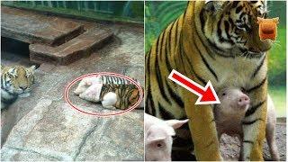 母虎喪子傷心不已,動物園讓小豬穿上「虎皮」結果竟…!