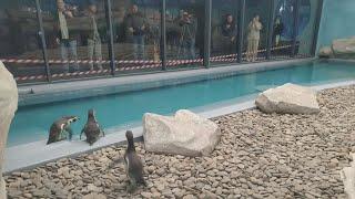 Пінгвіни – вперше в Харкові: до зоопарку привезли трьох самиць із Німеччини