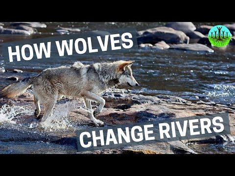 How Wolves Change Rivers