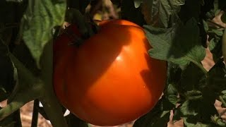 Rutgers Brings Back the Jersey Tomato