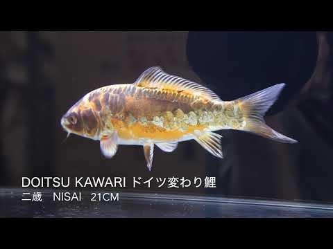 橙ドイツ変わり鯉 二歳 21cm錦鯉大地 KOITAICHI