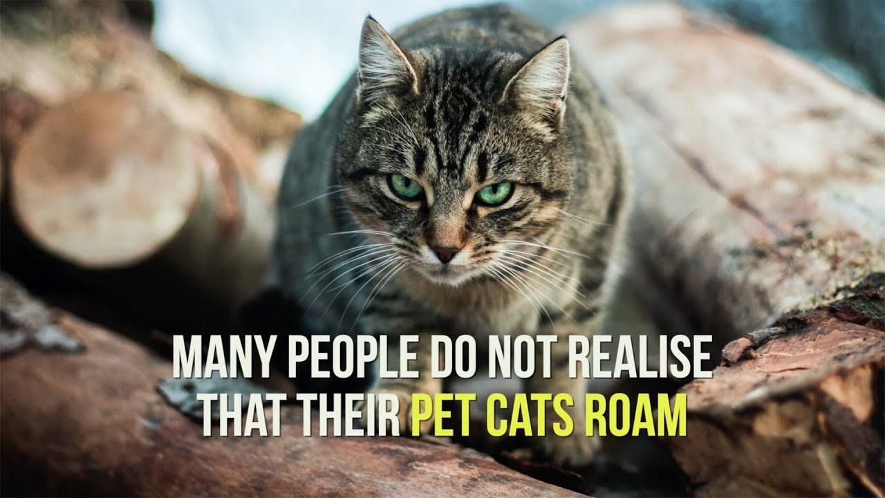 The impact of roaming pet cats on Australian wildlife