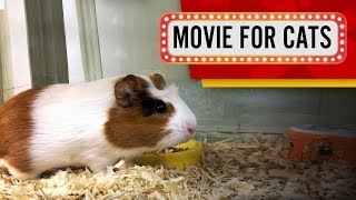 MOVIE FOR CATS - 🐹 GUINEA PIGS 60FPS (Entertainment video for cats to watch)