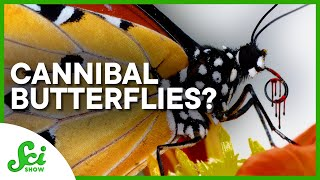 Some Butterflies Are Secretly Cannibals