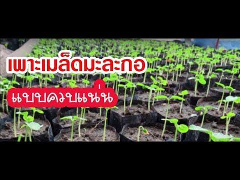 ปรสิต Treponema pallidum
