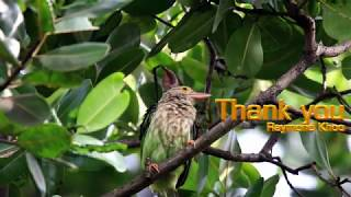 Lineated barbet (Psilopogon lineatus)