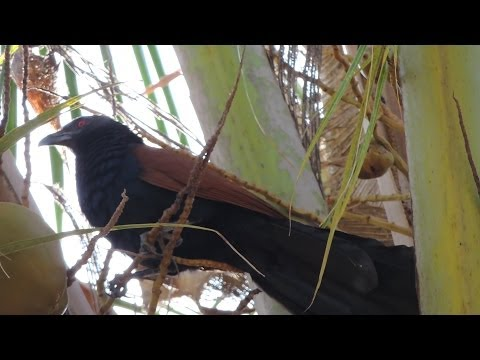 Coucal (Mahoka) On Coconut Tree