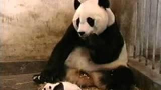 Маленькая панда чихнула.