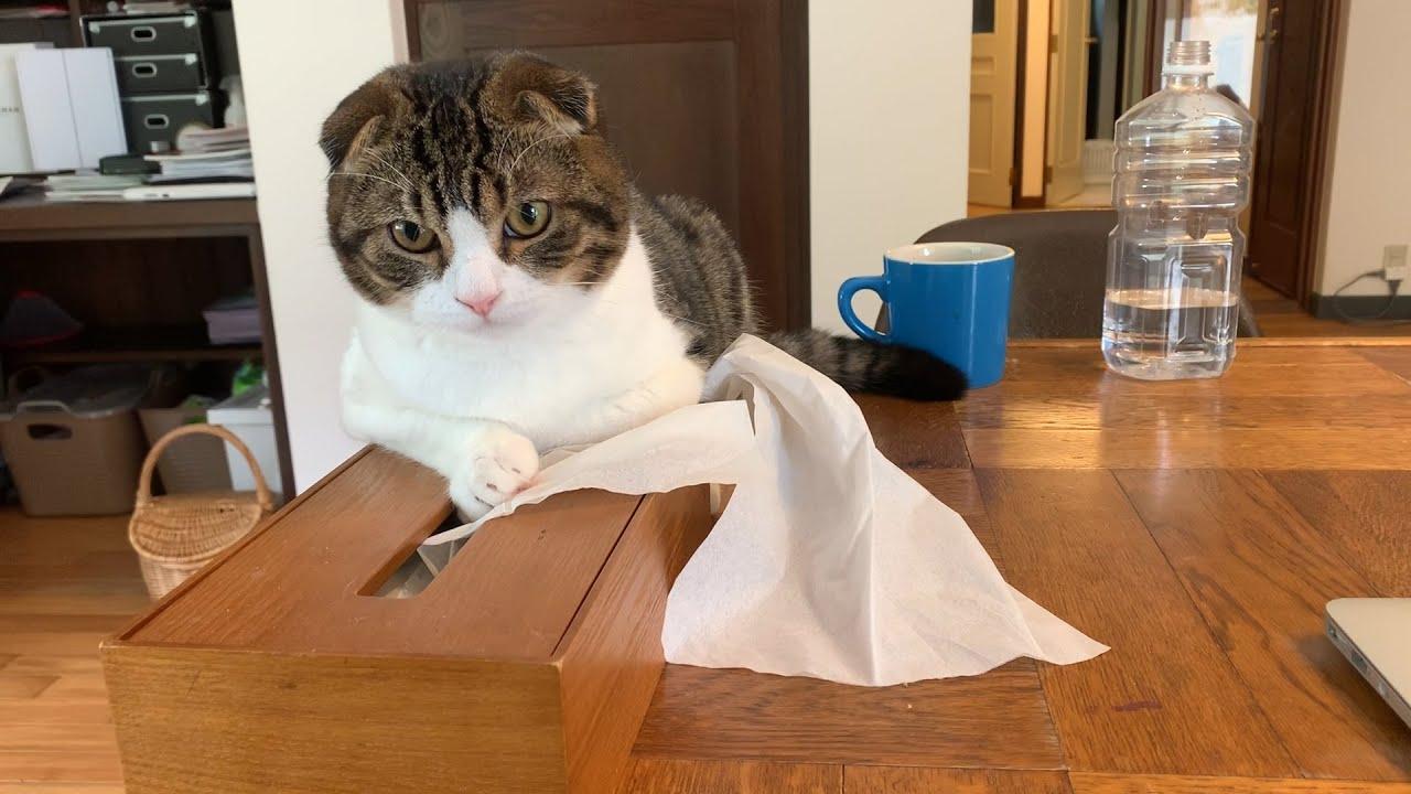 【子猫】珍しい!!ポコJがものすごく塩対応な件【スコティッシュフォールド】