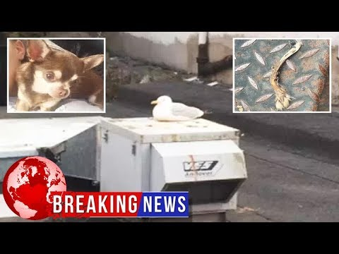 Leg bone found in hunt for Gizmo the chihuahua snatched by seagull actually belongs to a RABBIT