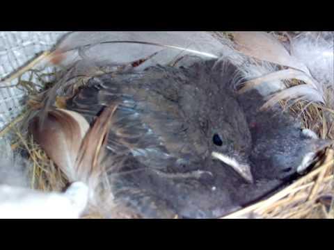 Птенцы вылупились из яиц. ПРОДОЛЖЕНИЕ.