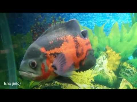 Video Oscar (fish). Ikan Oscar.オスカーの魚