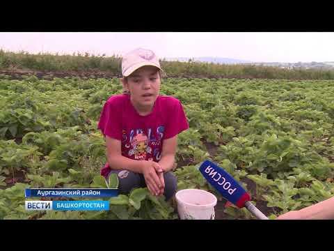 В Аургазинском районе семья больше четверти века выращивает клубнику в промышленных масштабах