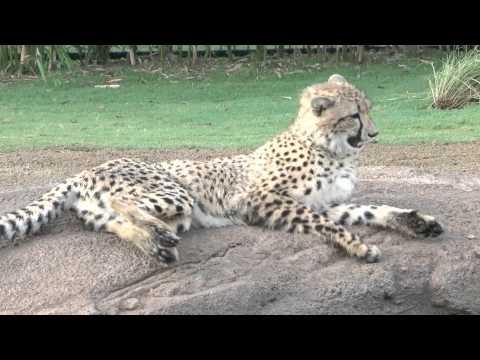 Busch Gardens - Cheetah Run Interview with Animal Curator Tim Smith