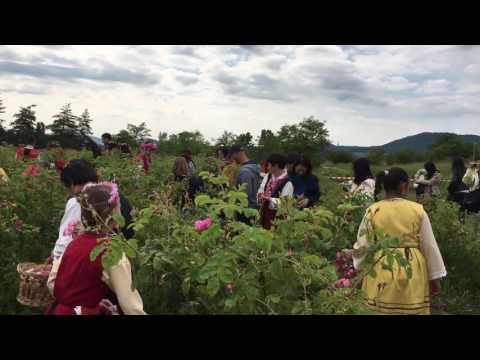 Rosenernte in Bulgarien