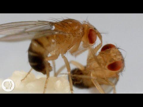 These Fighting Fruit Flies Are Superheroes of Brain Science | Deep Look