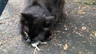 Cat kill and eat mouse. Katze erlegt und frisst  Maus.