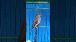 Cucak Rawis Gacor Cocok Untuk Memaster Burung Murai Batu Dan Lovebird