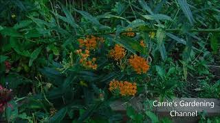 butterfly weed, what does butterfly weed look like, perennial butterfly weed