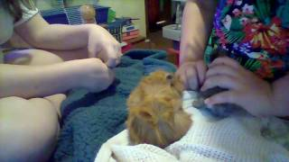 my rabbit and giunie pig being cute (new born baby rabbit)