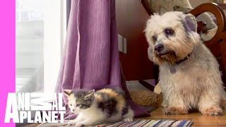 Kitten and Grown Dogs Meet for First Time | Too Cute!