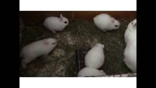 Dwarf Hotot Bunny Babies Having Fun In A Hutch