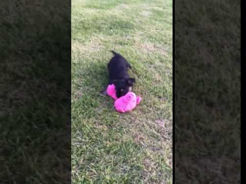 Madison… Beautiful YorkieChin puppy :