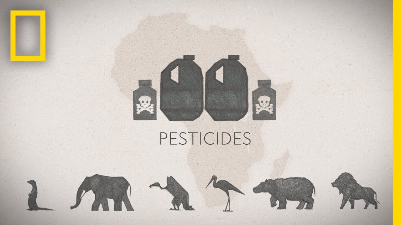 How Pesticide Misuse Is Killing Africa's Wildlife | National Geographic thumbnail