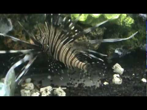 Video how to feed .Feeding lion fish.