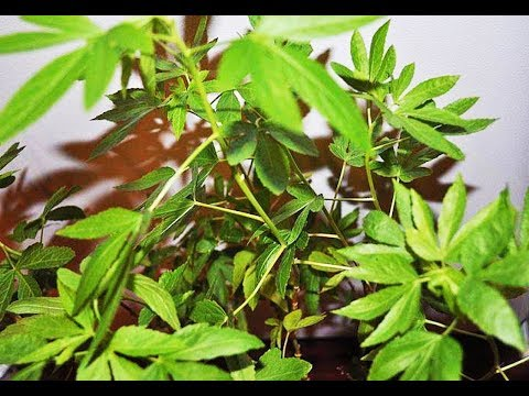 Police Arrest Elderly Couple After Mistaking Hibiscus Plant For Weed