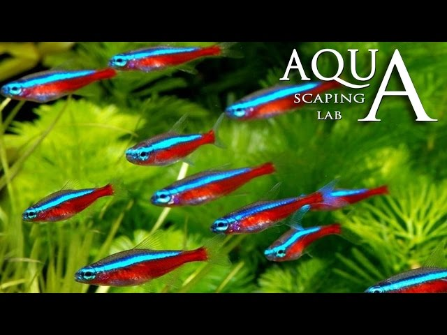 Aquascaping Lab - Neon Tetra Paracheirodon Innesi & Axelrodi Fish description / Neon Cardinale