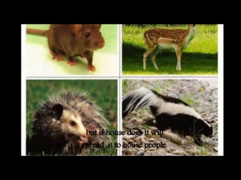 Video Ratty Rat - Leptospirosis diseases in Malaysia