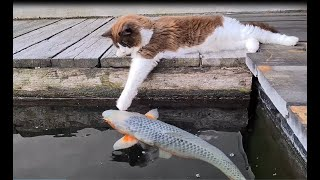 Cute Cat At The Koi Pond (Kissing And Touching Fishies)