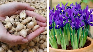 How To Plant Iris Reticulata Pixie: Spring Garden Guide