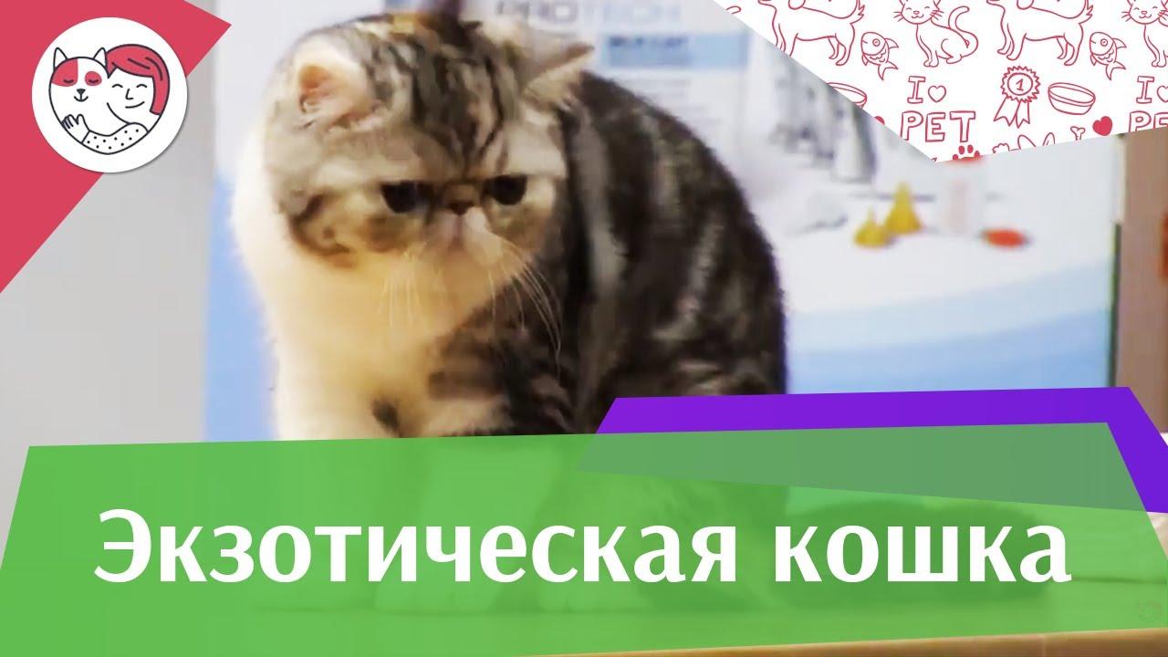 Экзоты История породы на ilikepet