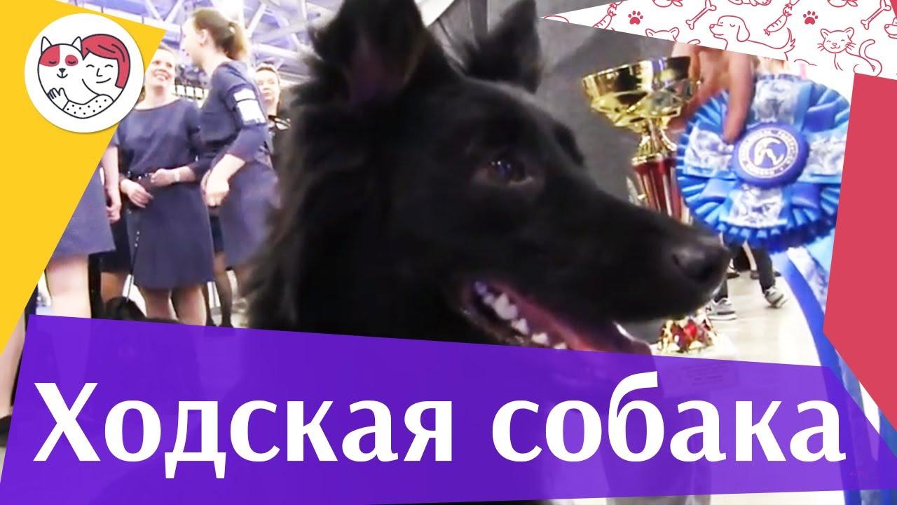 Ходская собака на Евразии 17 ilikepet