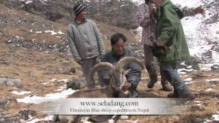 preview picture of video 'BLUE SHEEP BHARAL HUNTING (Chasse) HIMALAYAN NEPAL by Seladang'