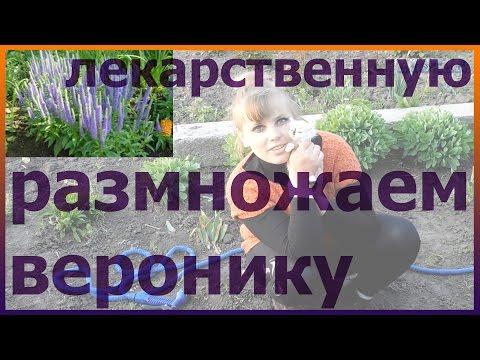 Вероника лекарственная размножение посадка уход выращивание. Как посадить веронику лекарственную.
