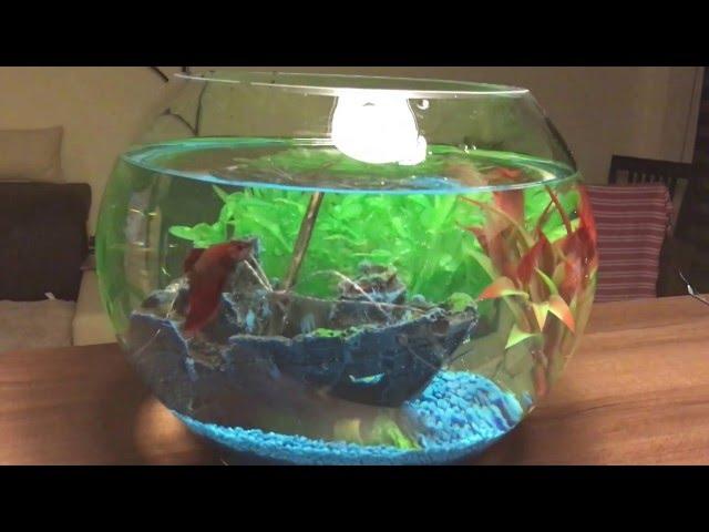 Betta's first day - fish tank setup