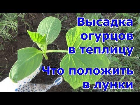 Высадка рассады огурцов в теплицу.  Чем наполнить лунки для отличного урожая
