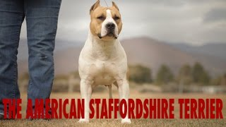 AMERICAN STAFFORDSHIRE TERRIER - THE CIVILIZED PIT BULL