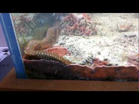 Guy Had No Idea This Enormous Bristle Worm Was Living In His Fish Tank