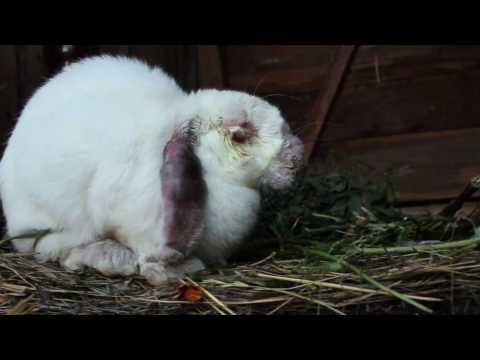 Как вылечить кролика от миксоматоза.100% гарантия