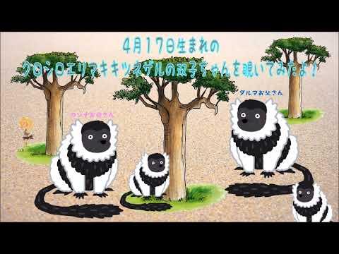 エリマキキツネザル♡双子の赤ちゃん★到津の森公園