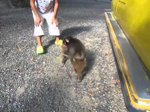 Μαϊμού βολτάρει πάνω σε γουρουνάκι!