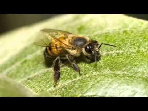 Video Pertolongan Pertama Apabila Disengat Lebah