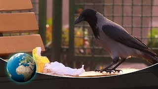 Fascinating insights into the world of corvids - Rascals in the Skies